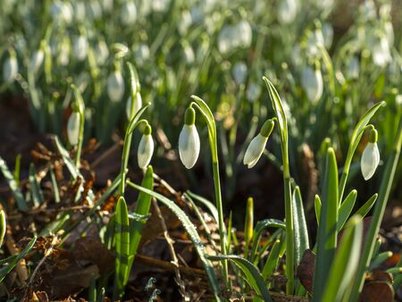 Closeup of white snowdrops flowering in sunlight in a wood in North Yorkshire, England