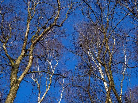 Bare winter branches of silver birch trees, Beutla pendula, catching sunlight with a clear blue sky background