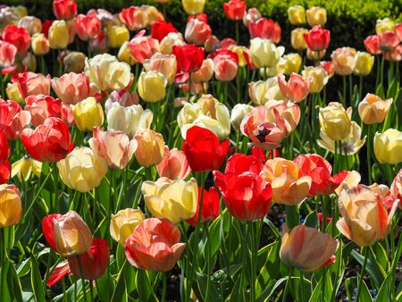 A mixed display of red and yellow tulips flowering in a spring garden