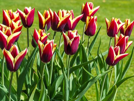 Lovely maroon and yellow tulips, variety Doberman, flowering in a garden beside a grass lawn