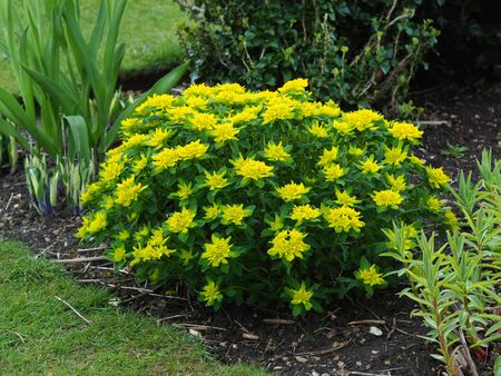 Euphorbia polychroma plant with yellow flowers and green leaves in a garden