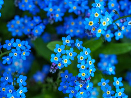 Closeup of pretty little blue garden forget-me-not flowers, Myosotis, seen from above