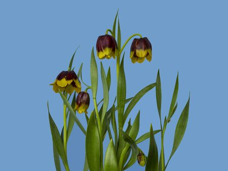 Pretty purple and yellow fritillary flowers, Fritillaria michailovskyi, against a plain blue background
