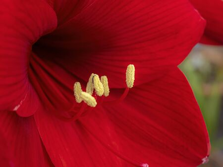 Closeup of a beautiful red Amaryllis flower with long stamens and yellow pollen covered anthers