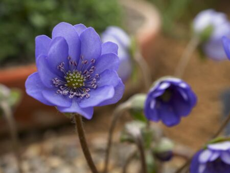 Closeup of a pretty little mauve flower of Hepatica nobilis Multipetala Фото со стока
