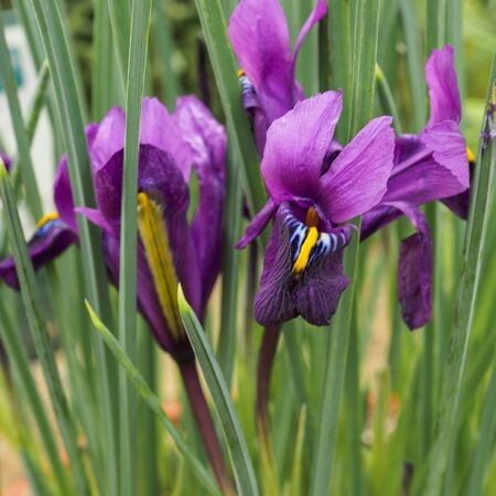 Tiny little purple and yellow iris flowers, variety Iris reticulata Purple Hill Фото со стока