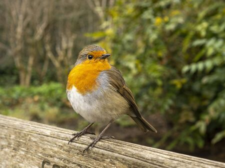 Cute European robin, Erithacus rubecula, perched on a wooden garden bench