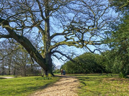 Couple strolling beneath an ancient tree in the parkland at Beningbrough, North Yorkshire, England, on a sunny winter day