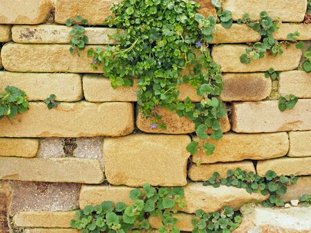 Rustic stone garden wall with leaves and buds of a Campanula portenschlagiana plant Фото со стока