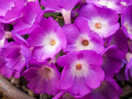 Dense pretty pink Primula allionii flowers in a clay pot