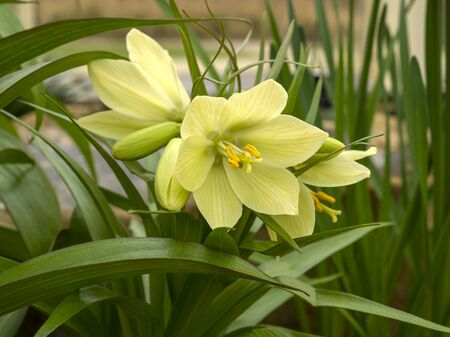 Lovely yellow flowers and green leaves of Fritillaria raddeana or dwarf crown imperial Фото со стока