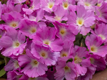 Densely packed pink flowers of Primula hallionii hybrid growing in a pot Фото со стока