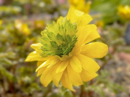 Closeup of a yellow and green flower of Adonis amurensis Hanazono in a garden