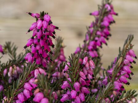 Closeup of the bright pink flowers and green leaves of the heather Erica carnea variety Kramers Red Фото со стока