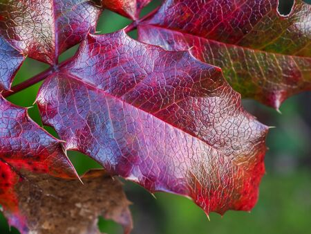 Holly leaf with bright red and purple colours and a textured surface on a garden bush in winter