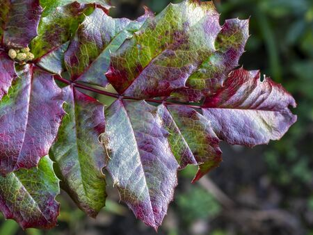 Holly leaves with bright red and green colours and a textured surface on a garden bush in winter