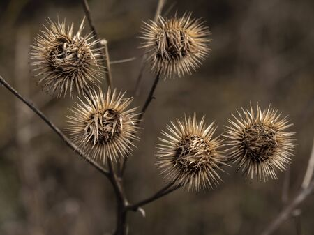 Finished flowers or seed heads of the burdock plant, Arctium, in winter