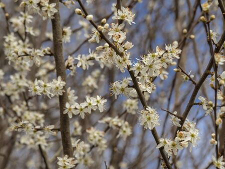 Pretty white blossom on a blackthorn tree, Prunus spinosa, in early spring Фото со стока