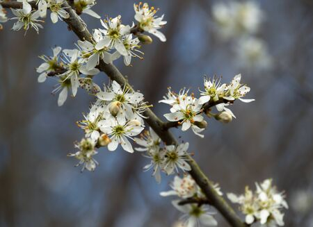 Closeup of white blackthorn blossom, Prunus spinosa, on a tree branch in early spring Фото со стока