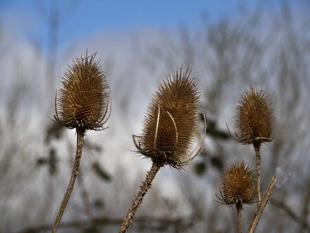 Closeup of the spiky seed heads of teasel plants, Dipsacus, in winter