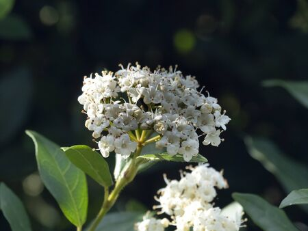 Closeup of white flowers and green leaves on a Viburnum bush in early spring