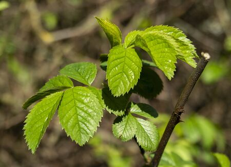 Fresh green leaves on an elm tree, Ulmus, catching spring sunlight
