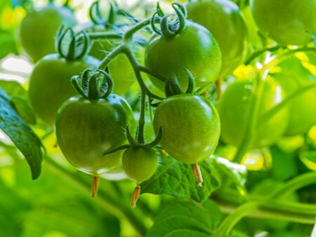 Closeup of a truss of green tomatoes developing on a tomato plant, variety Red Robin