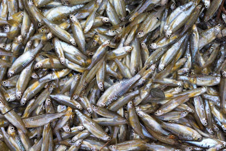 fresh water smelt: fish small local food of villager  thailand