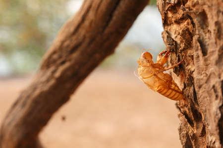 pupa: bug cicada pupa in forest