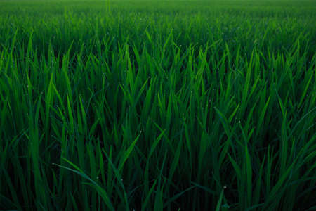 abound: water drops on leaf rice in field countryside abound Stock Photo