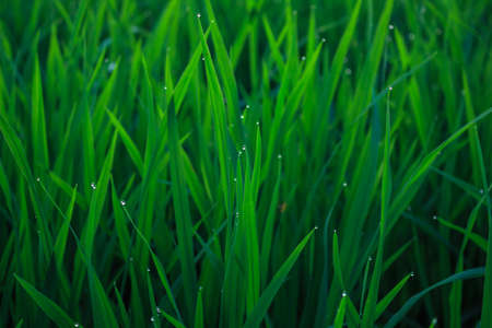 water drops on leaf rice in field countryside abound Stock Photo