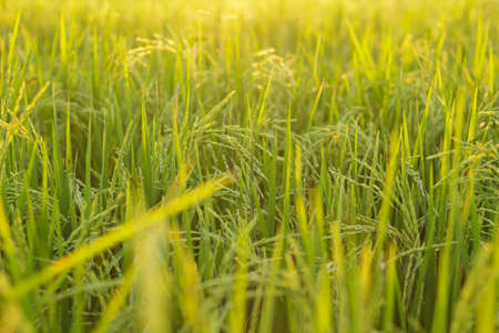 abound: rice paddy field plant natural food countryside abound thailand