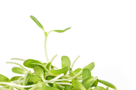 germinación: brote verde semillas ecología crecimiento de germinación en el fondo blanco