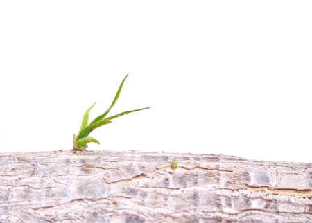 germinación: plantas jóvenes del brote que crece la esperanza en el fondo blanco.