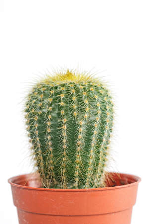 cactus in orange pot on white background.