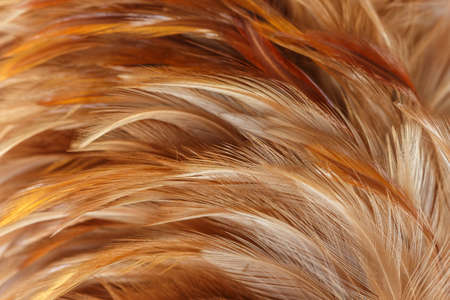pluma de pollo color marrón y naranja