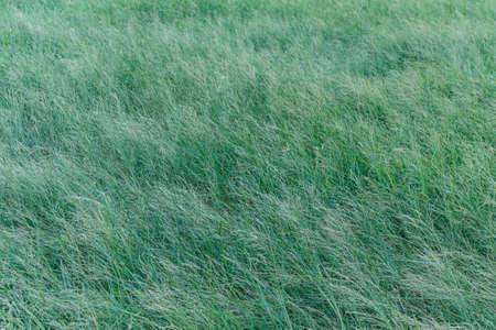green grass field in wind.