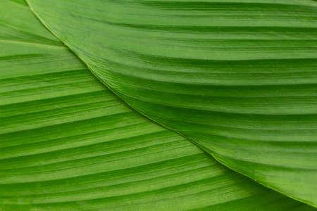 green leaf texture background. Archivio Fotografico - 128962667
