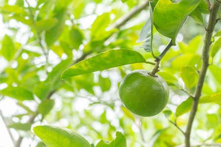lime tree in garden. Archivio Fotografico - 128962658