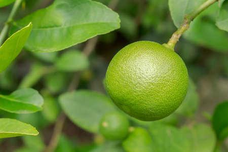 lime fruit closeup Archivio Fotografico - 128963566
