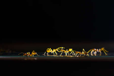 ants walking to working on black background. Stock Photo