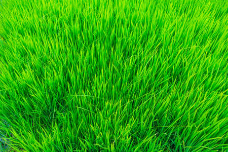 rice field above view. Stock Photo