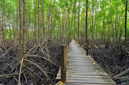 Wooden bridge and mangrove field. Boardwalk in Tung Prong Thong Golden Mangrove Field, Rayong Province, Thailand.