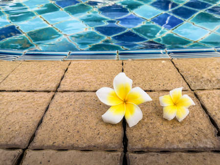 Frangipani flowers by the swimming pool.  Relax felling.