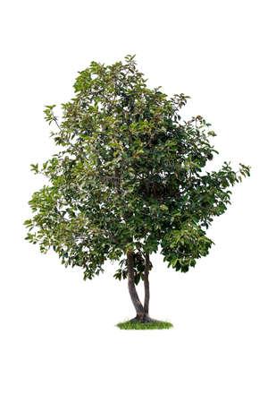single tree isolated on white background Standard-Bild