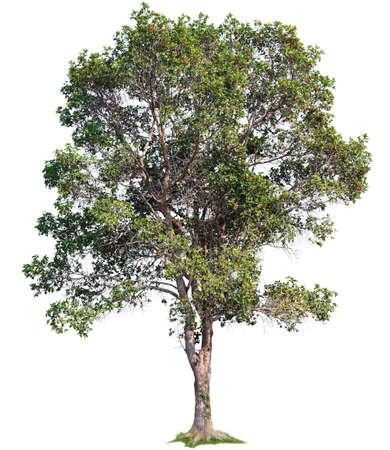 Single big tree isolated on white background