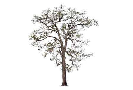 isolated leafless tree isolated on white background