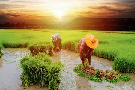 farmer planting rice in farm, Thai traditional plantation