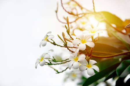 pluemeria flower, Thai flower