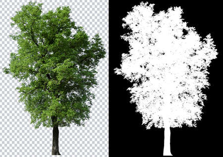 árbol único sobre fondo de imagen transparente con trazado de recorte, árbol único con trazado de recorte y canal alfa sobre fondo negro